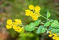 Cytisophyllum sessilifolium in Lozere (6).jpg