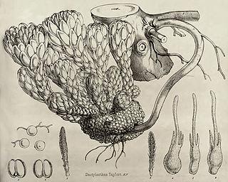<i>Dactylanthus taylorii</i> species of plant