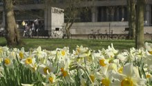File:Daffodils in George Square (Source).webm