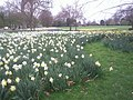 Daffodils in Greenwich Park - geograph.org.uk - 2394545.jpg