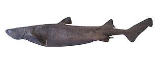 Kitefin shark Species of shark