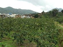 Из каких фруктов получается гибрид помело