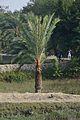 Date Palm - Taki - North 24 Parganas 2015-01-13 4730.JPG