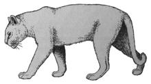 De vroeg-pleistocene sabeltandkat, Homotherium crenatidens (2008) Panthera onca gombaszoegensis.png