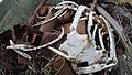 Dead deer carcass dumped on Burch Mountain Chelan County Washington 2.jpg