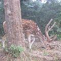 Deer Jim Corbett.jpg