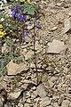 Delphinium menziesii 5859.JPG