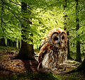 Der Waldkauz als Spottdrossel.jpg