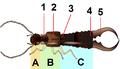 Dermaptera body planC.png