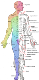 Dermatomes and cutaneous nerves - anterior.png