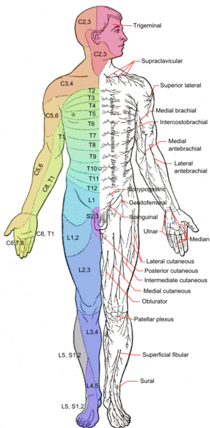 Cutaneous nerve - Image: Dermatomes and cutaneous nerves anterior