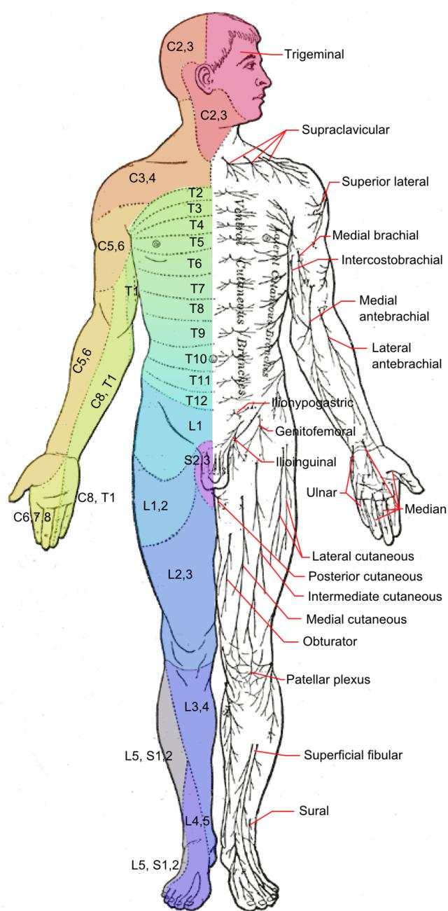 Dermatom (Anatomie) - Wikiwand on