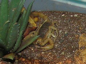 Desert Hairy Scorpion (Hadrurus hirsutus)