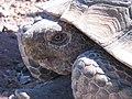 Desert tortoise (6867765038).jpg