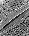 Detail, Diatom algae Amphora sp (cropped).jpg