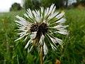 Dewy dandelion.jpg
