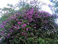 Dhara kheta flower.JPG