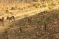 Dhole or Wild dog (71).jpg