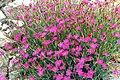 Dianthus deltoides 'rose'.jpg