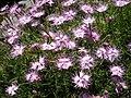 Dianthus monspessulanus 5.jpg