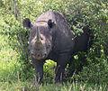 Diceros bicornis Kenya.JPG