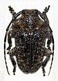 Dichostates lignarius lacunosus (12504283395).jpg