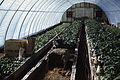Dicksons Florist greenhouse beds 06.jpg