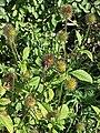 Dipsacus strigosus inflorescence (02).jpg