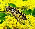 Diptera- Syrphidae- Helophilus pendulus (F) (2790716222).jpg