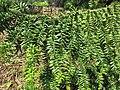 Domaine du Rayol - Araucaria bidwilii foliage 1.jpg