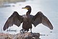 Double-crested Cormorant (6911178769).jpg