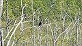 Double-crested Cormorant (Phalacrocorax auritus) - MacGregor Point Provincial Park 01.jpg