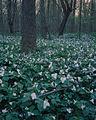 Dowagiac Woods.JPG