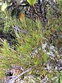 Dracophyllum uniflorum Governors Bush Walk Mount Cook NZ.JPG