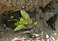 Drinking Butterflies , 3 Van Someren's Green-banded Swallowtails (Papilio interjectana), 1 Small Striped Swordtail (Graphium policenes) and Pieridae - Flickr - berniedup.jpg