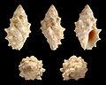 Drupella cornus 01.JPG