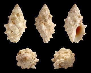<i>Drupella cornus</i> species of mollusc