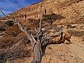 Dry Accacia, Hatira Gulch, Negev, Israel שיטה יבשה, נחל חתירה, הנגב - panoramio (1).jpg