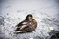Duck (114232829).jpeg