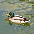 Duck (2533839301).jpg