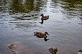 Ducks Wentworth park, Sydney (41364928991).jpg