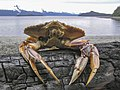 Dungeness Crab 47.jpg