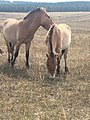 Duo de chevaux mâles de Przewalski.jpg