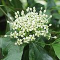 Duperrea pavettifolia-IMG 3463.jpg