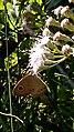 Dusky knight butterfly IMG 20160715 090512.jpg