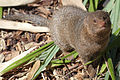 Dwarf Mongoose from front.jpg