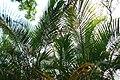 Dypsis lutescens 7zz.jpg