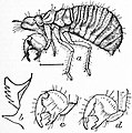 EB1911 Hemiptera - Fig. 10.—Nymph (4th stage) of Cicad.jpg