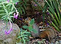 Eastern Fox Squirrel in Berkeley California garden-Oct 2014.JPG