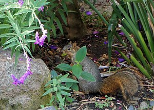 Backyard fox squirrel searching for a location to bury its acorn, in Berkeley, California